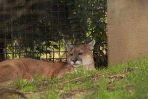 Florida Panther: A Florida State Symbol
